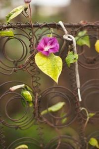 How to Speed Up the Growth of Morning Glories & Moonflowers