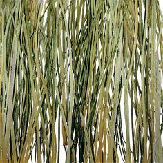 Bear grass. [3-Form.]