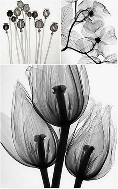 Steven N. Meyers has turned X-ray images of flowers and plants into fine art. by patti i really like the top left panel