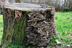 Fungus - Wikipedia, the free encyclopedia