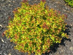 ... spirea gold dimma garden northeastern gardening gold flame forward