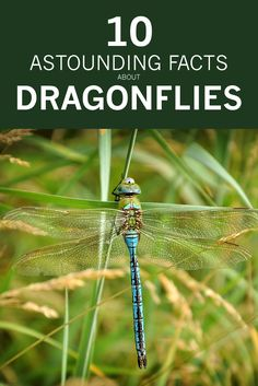 10 Astounding Things You Should Know About Dragonflies via Tara Wildlife - Haar Ideen Dragonfly Facts, Dragonfly Quotes, Dragonfly Insect, Dragonfly Wings, Dragonfly Tattoo, Dragonfly Habitat, Baby Dragonfly, Dragonfly Meaning, Wild Life