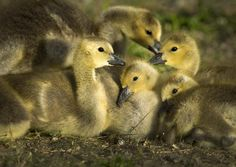 Guarded gaggle: Canada geese goslings huddle between the Centennial Trail and Spokane River by Upriver Drive on Friday in Spokane. The geese have many nesting sites near the water, and their goslings are starting to explore their surroundings. Photo by Colin Mulvany, The Spokesman-Review. #spokane #nature