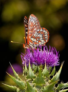 Butterfly in the Thistles