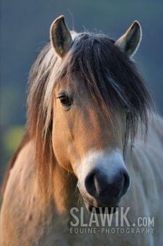 Fjord horse - Horses Photo (1256817) - Fanpop