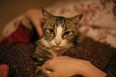 Cat Care Health How to Perform a Home Health Check for Your Cat - Performing a monthly home health check on your cat is a good way to monitor suble changes in your cat's health or behavior. Cat Health, Home Health, Sick Cat Symptoms, Kitten Care, Cat Whiskers, Cat Behavior, Cat Facts, Cat Life, Pet Care