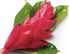 """""""Yrttimetsä"""" Brighter World Punainen inkivääri & tiikki Mausteinen punainen inkivääri Laosin maalaiskylistä yhdistyy metsäisiin tuoksuihin ja tuo uutta energiaa Laos, Flowers, Collection, Royal Icing Flowers, Flower, Florals, Floral, Blossoms"""