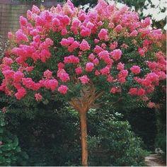 Lagerstroemia 'Bergerac®' - Plantes et Jardins
