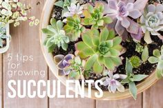 5 Tips for Growing Succulents - Succulent Care is so easy! -- Succulents and Sunshine