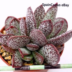 Adromischus trigynus cv. Calico Heart BLUE-RED