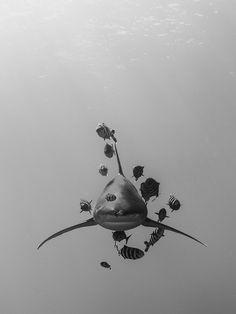 Stunning b&w shark
