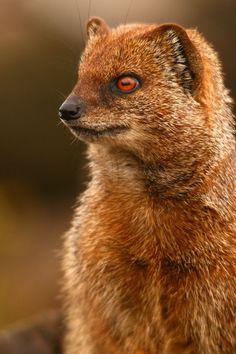 Yellow Mongoose: