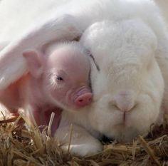 lil piggy and big rabbit.