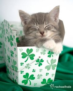 Kitten in Shamrocks reminds me of my Chibi kitty RIP