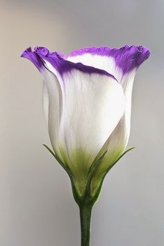 The Beauty of Lisianthus