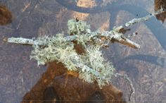 Live Florida Lichen-Terrarium,Reptile&Amphibian Cage,Collectors Specimens,Spec.1