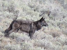 Of all of Mother Earth's creatures, perhaps none are more misunderstood than predators, and among them, the wolf may be at the top of the list.