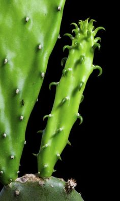 Removing Offsets From Cactus: How To Remove Cactus Pups On Plant - One of the easiest methods of plant propagation is by removing cactus pups. Many species of cactus are known for growing cactus pups, which carry the identical characteristics of the parent. Learn how to remove cactus pups on plants in this article.