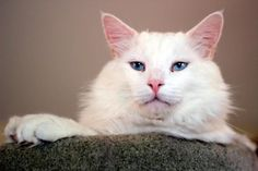 Meet Beaumont, a Petfinder adoptable Domestic Medium Hair-white Cat   Corrales, NM   Beaumont, Beau to his fans, is a large, white male cat.  He is good with other cats and people.  He...