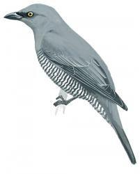 Barred Cuckoo-shrike (Coracina lineata)