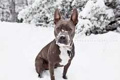 my pit enjoying the Idyllwild snow #pitbull #pit #dog #snow