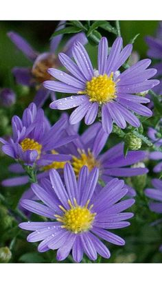 Symphyotrichum laeve - Smooth Aster (pretty lavender color) ~ THE DELICATE FLOWER