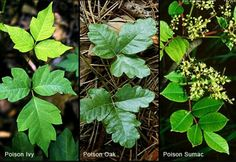 Poisonous plants to avoid in the woods. Helpful pictures