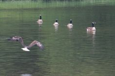 Eagle and Canadian Geese