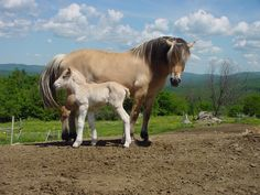 Pretty Norwegian Fjord Mare and Her Brand New Adorable Foal.
