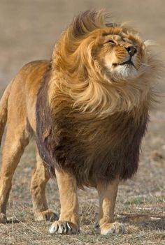 A lion shaking out his mane.