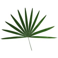 Raphis Palm Leaf - click to enlarge