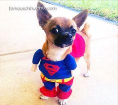 the amazing peanut as chihuahua superman!