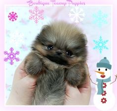 Amazing Precious Little Cherish Micro Extreme Tiny Sable Pom