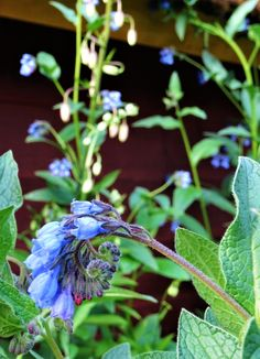 Comfrey and martagon lilies. Martagon lilies are among my favorite garden flowers, so beautiful and so easy to grow! Comfreys grow like weed and some people hate them, but I like anything that has that sort of power so. love them!