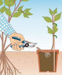 Lassen Sie den abgelegten Clematis-Trieb am besten bis zum nächsten Frühjahr an der Mutterpflanze – erst dann können Sie sicher sein, dass die abgelegte Jungpflanze genügend eigene Wurzeln gebildet hat. Um das zu testen, sollten Sie den Erdballen vorsichtig aus dem Topf nehmen: Ist er gut durchwurzelt, trennen Sie mit einer Gartenschere die Verbindung zur Mutterpflanze. Mehr unter Kommentar!!!
