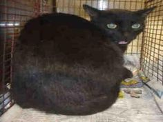 A1666285 Cat • Domestic Short Hair • Young • Female • Medium City of Los Angeles South LA Animal Shelter
