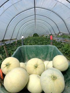 il melone viadanese Apple, Fruit, Food, Apple Fruit, Essen, Meals, Yemek, Apples, Eten