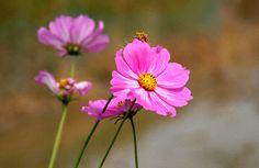 use copon GYKNN at checkoat for special discount Chrysanthemum Flower, Pink Flowers, Artwork, Plants, Work Of Art, Auguste Rodin Artwork, Artworks, Planters, Illustrators