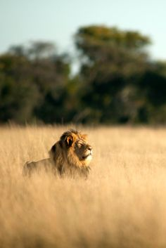 """THIS IS CECIL THE LION, viciously murdered by criminal trophy hunter Walter Palmer who shot him, left him to slowly die for 40 hours, skinned & decapitated him. Other males and the cubs of the pride may now not survive due to younger rival males in the area. SIGN & SHARE THIS PETITION  """"DEMAND JUSTICE FOR CECIL THE LION IN ZIMBABWE"""" http://www.thepetitionsite.com/821/738/351/demand-justice-for-cecil-the-lion-in-zimbambwe/"""