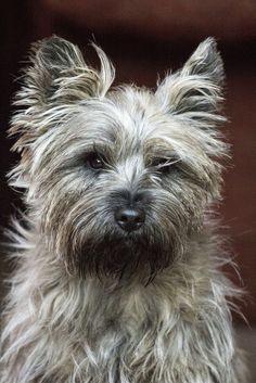 Cairn Terrier named Buzz