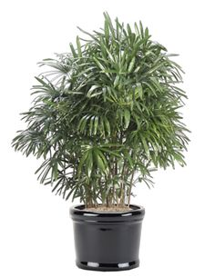 Palm Plants Indoor Plants - Rhapis excelsa is one of the most popular indoor palm trees - Garden Design Ideas Palm Trees Garden, Indoor Palm Trees, Indoor Palms, Palm Plants, Plants Indoor, Palm Plant Care, Best Air Filter, Toxic Plants For Cats, Cactus