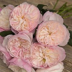 Constance - a rose pink & blush double garden rose with a beautiful fragrance - typically David Austin ! (approx. 90 petals)