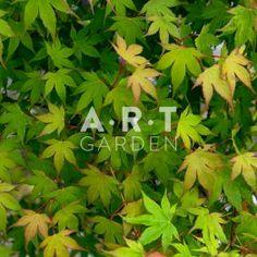 Erable du japon Acer palmatum 'Momoiro-koya-san'