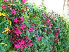 Ipomea rubra (Ipomoea horsfalliae): É uma trepadeira tropical de crescimento vigoroso (a partir do primeiro ano de desenvolvimento) e floradas na primavera e no verão. Além de sensível ao frio, pede muita água.