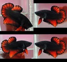 Dark Red Hmpk Male