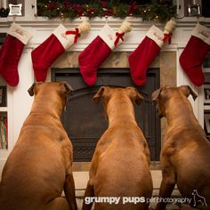 The stockings were hung by the chimney with care...www.grumpypups.com #pinitforpetsmart