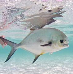 Permit, Florida Keys