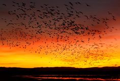 Snow Geese Sunrise, San Antonio, New Mexico - Arthur Morris Snow Goose, Fb Cover Photos, Look At The Sky, Fb Covers, Zoom Lens, New Mexico, Lenses, Things To Do, Sunrise