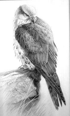 Gyr Falcon - Pencil drawing - Gary Henderson