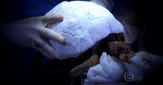 Jabuti recebe prótese de casco feita em impressora 3D após incêndio
